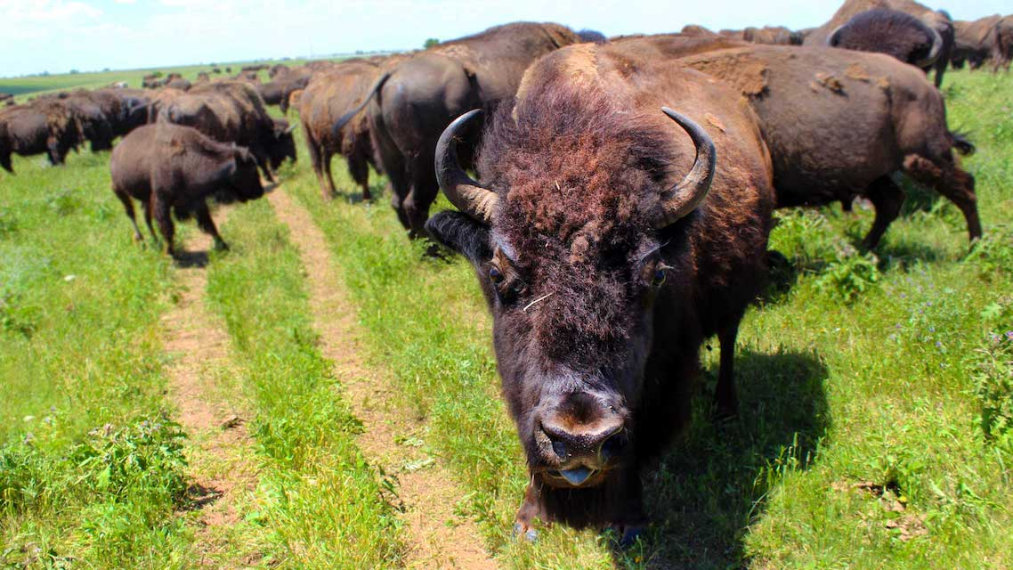 Black Prairie Bison Photography